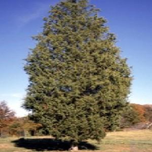 Cedar Tree Spraying