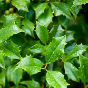 Holly birch Leafminer treatment
